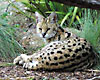 L.A. Animal Services Issues Warning: Serval / Large Cat Spotted In West Los Angeles Area