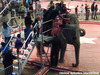 Circus Elephants Used for Children's Rides Go Out of Control