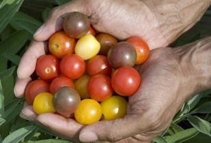 Growing Tomatoes - The More You Know the Better You'll Grow