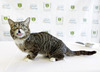 """Celebricat"" Sensation Review - Lil Bub Hosts a VIP Meet & Greet at Adopt & Shop Culver City"