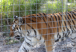Big Cat Rescue Review - A Sanctuary Unlike Any Other
