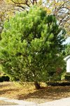 "Christmas Tree Update - Italian Stone Pine – maybe the best choice as a ""Living"" Christmas Tree"