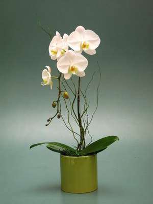 Spring Orchids to Ship