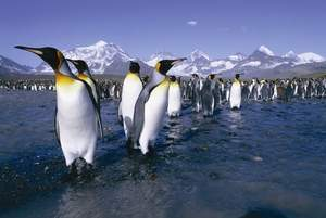 Antarctica's King Penguins