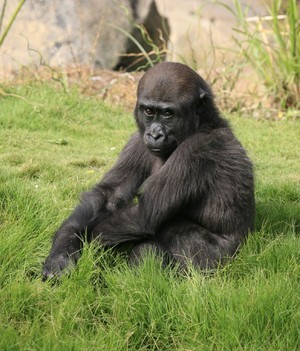 CAPTION: Glenda, one of the Los Angeles Zoo's gorillas; CREDIT: Bruce Gelvin
