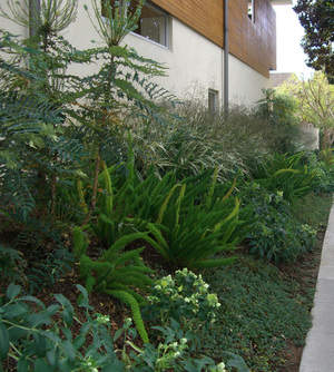 Drought tolerant plants line the side of this Santa Monica green home