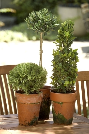 Tabletop Topiaries by Monrovia